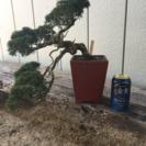 盆栽 樹齢30年 糸魚川真柏