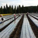 ニンニクの収穫作業