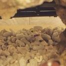 熱帯魚 ヒレナガネジリンボウ ハタタテネジリンボウ