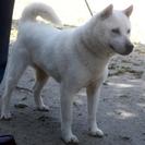 紀州犬 ショータイプの美犬 メス 3歳 応募多数のため一旦停止