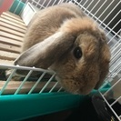 ロップイヤーのウサギ