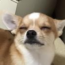 チワワmixの子犬ちゃん*少しビビリ