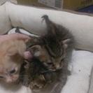 生後3週間の子猫の里親様 募集します!