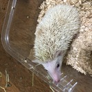 気性の荒いハリネズミ♂生後5ヶ月ちょっとのシナモンパイド