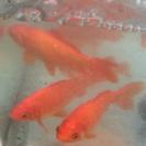 金魚です。10cm〜18cm位8匹です。