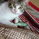 ピンク色のお鼻のオス猫の里親さん募集