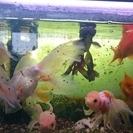 金魚・熱帯魚の里親募集【里親様決定しました】