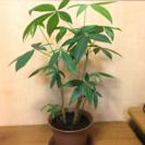 ★観葉植物★パキラ&一葉モンステラ★