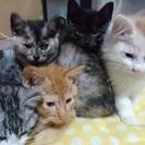 子猫五匹、二匹は家族が出来ましたあと三匹が家族を待っています