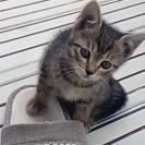 子猫の里親募集!