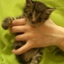 3匹の子猫ちゃん。動物病院で健康診断中。一生涯かわいがってくださる方へ!