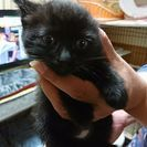 ⭐再募集⭐黒猫、キジトラ⭐姉妹子猫2匹♀(生後約2ヶ月)の信頼でき...