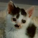 子猫♂(生後1~2ヶ月)