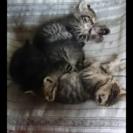 子猫4匹譲ります