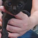 黒猫の赤ちゃんの里親募集中!