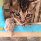 生後1ヶ月の仔猫ちゃん 里親募集