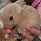 ミニウサギ(おうちが決まりました)