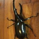 DHヘラクレスオオカブト ♂124ミリ単品 新成虫6月6日羽化②