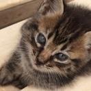 生後一ヶ月の仔猫ちゃん 里親募集