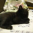 生後一ヶ月の可愛い黒猫の赤ちゃんオス猫です。