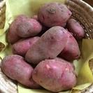 掘り立て★美味しい新じゃが芋レッドムーン希少2kg500円ジャガ...