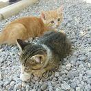 生後1ヶ月半の子猫二匹(ブルーアイ)