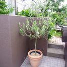鉢つき 樹木 オリーブ