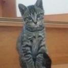 3ヶ月くらい。キジトラ子猫・オスの飼い主さん募集!