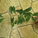 ガジュマルの挿し木