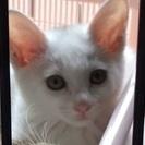 生後1.5ヶ月の白猫ちゃん   里親さん募集❗️