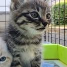 子猫 キジトラの男の子