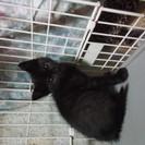 【一時停止】黒猫ファン必見!! 生後2ヶ月兄弟里親募集!!