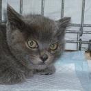 ぬいぐるみのように愛らしいロシアンブルーmix赤ちゃん猫!