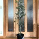 《訳あり!》*オリーブの木*  1メートル超え ・ 8号鉢