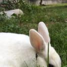 生後5ヵ月の子うさぎお譲りします!⚠️右耳にケガの跡あり
