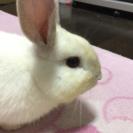 生後5ヵ月の子うさぎお譲りします!毛色→白〜茶色