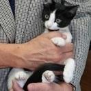 里親決定しました白黒♂子猫ハチワレ里親募集!