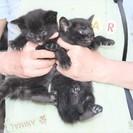 黒の子猫2匹の里親募集です(複数問い合わせいただいていますので一...