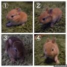 ネザーランドドワーフの仔ウサギ6羽(6月10日生)