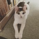子猫の里親さん募集★マロ猫★@神奈川県厚木市より - 里親募集