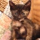 幸運をもたらす錆び猫 ナレナレの外国人が愛するサビ柄の女の子2ヶ...