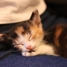 ナレナレの三毛猫 女の子 2か月