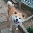 愛嬌ある秋田犬