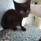 【一時停止】ジジみたいな生後2ヶ月黒猫ちゃん里親募集♪