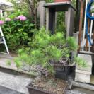 盆栽松 - 堺市