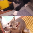 (里親様決まりました)生後2ヶ月の姉妹(2匹)の里親様募集…