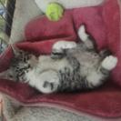 仔猫 多分オス 生後3ヶ月前後 体重1Kg 里親募集