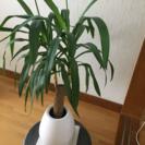 観葉植物【ユッカ】