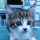☆里親様決定!可愛い2ヶ月の兄妹仔猫のお兄ちゃん