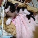 生後二か月半ハチワレの女の子